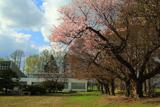 旧佐幌小学校の桜