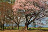 佐幌小学校の桜