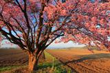 屈足の蝦夷山桜