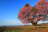 屈足の一本桜