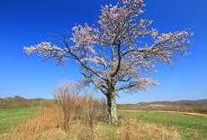 活込の一本桜