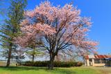 上押帯小学校の桜