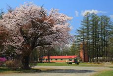 十勝育成牧場の百年桜