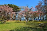庶野さくら公園の桜
