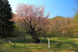 庶野の夫婦桜