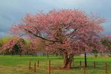 日高育成牧場の長寿桜