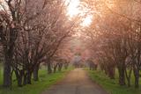浦河町 JRA日高育成牧場の桜並木