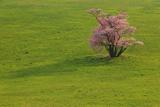 崎守町の一本桜