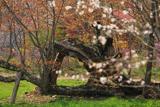 新田牧場の風雪桜