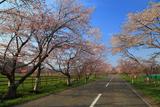 西舎桜並木