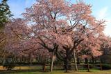 日高育成牧場の百年桜