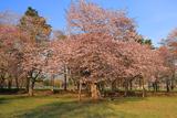 浦河町 JRA日高育成牧場の桜