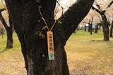青葉ヶ丘公園の桜