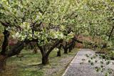 オニウシ公園の大島桜