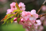 オニウシ公園の駒見桜