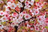 オニウシ公園の千島桜