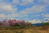 上南部の姫桜