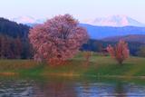 大雪遊水公園の桜