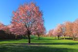 津別町 自然運動公園の桜