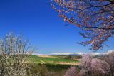 深山峠さくら園の桜