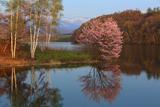 聖台ダム公園の桜