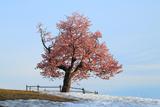 小樽の天狗桜