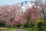 真狩神社の桜並木