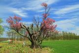 小清水町保存樹木桜