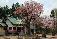 弟子屈神社の桜
