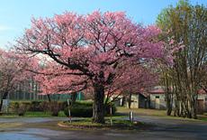 俣落小学校の桜