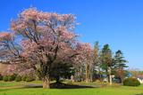 川北中学校の大桜
