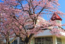 川北生涯学習センターの桜