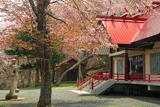 厚岸神社の桜