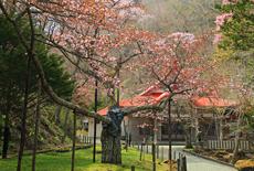 国泰寺の老桜樹