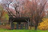 アイヌコタンの桜