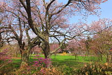 コタンの桜