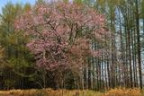 屈斜路コタンの桜