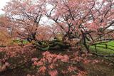 野付小学校の千島桜