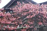 誠諦寺の蝦夷山桜