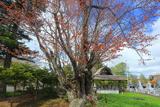 観音寺の老桜