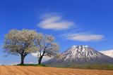 双子のさくらんぼの木