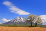 双子のサクランボの木