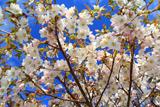 旧根室測候所の千島桜
