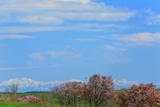 奥行臼の桜