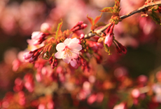 水見宅の千島桜
