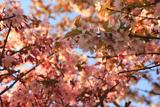 水見家の千島桜