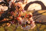 望郷の岬公園の千島桜