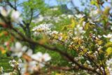黒岳五合目の千島桜