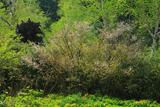 旭岳温泉の千島桜