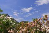 黒岳高松台の千島桜